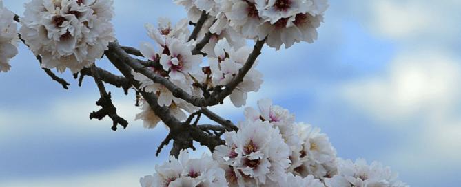 Tenerife Almond Blossom