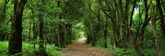 Forest Tenerife