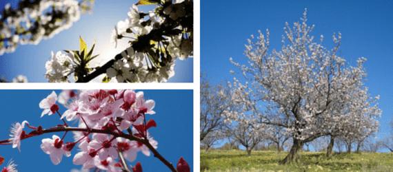 Mandelblüten und Bäume