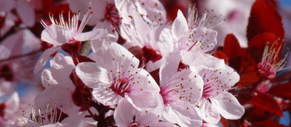 Mandelblüte in Santiago del Teide